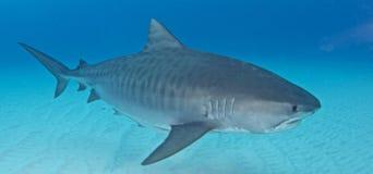 Κατάδυση καρχαριών Στοκ εικόνες με δικαίωμα ελεύθερης χρήσης