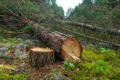 Κατέρριψε ένα δέντρο πεύκων στο δάσος στοκ εικόνες