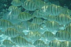 Καταδικάστε surgeonfish - cirujano Pez Στοκ Φωτογραφίες