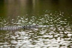Καταδυμένος αλλιγάτορας που κρύβεται στον ποταμό στοκ φωτογραφίες
