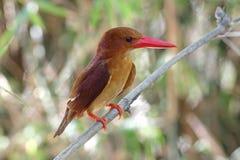 Κατακόκκινα χαριτωμένα πουλιά coromanda αλκυόνων γαλήνια της Ταϊλάνδης Στοκ φωτογραφίες με δικαίωμα ελεύθερης χρήσης