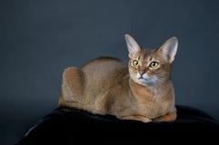 Κατακόκκινη γάτα Abyssinian Στοκ Εικόνες