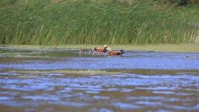 Κατακόκκινοι ζεύγος και νεοσσοί shelduck στη λίμνη απόθεμα βίντεο