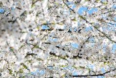 κατακόκκινο δέντρο κήπων Στοκ Εικόνα