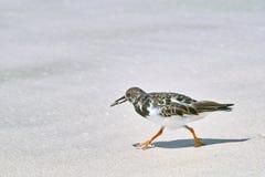 Κατακόκκινο πουλί turnstone που περπατά στην αμμώδη παραλία Στοκ Εικόνες