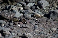 Κατακόκκινο Arenaria turnstone interpres που στηρίζεται Στοκ φωτογραφία με δικαίωμα ελεύθερης χρήσης