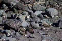 Κατακόκκινο Arenaria turnstone interpres που στηρίζεται Στοκ Εικόνα