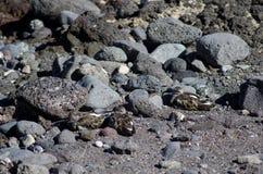 Κατακόκκινο Arenaria turnstone interpres που στηρίζεται Στοκ Εικόνες
