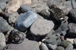 Κατακόκκινο Arenaria turnstone interpres που στηρίζεται Στοκ Φωτογραφίες