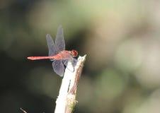 Κατακόκκινο sanguineum Sympetrum λιβελλουλών Darter στοκ εικόνα με δικαίωμα ελεύθερης χρήσης