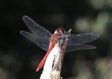 Κατακόκκινο sanguineum Sympetrum λιβελλουλών Darter στοκ εικόνες με δικαίωμα ελεύθερης χρήσης