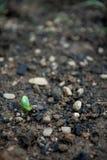 Κατακόρυφος βλαστών Cucerbit Στοκ Εικόνες