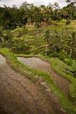 Κατακόρυφος τομέων ρυζιού του Μπαλί Στοκ Φωτογραφία