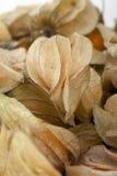 κατακόρυφος physalis καρπού Στοκ εικόνες με δικαίωμα ελεύθερης χρήσης