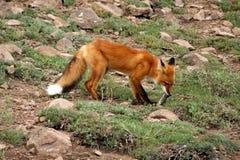κατανάλωση της αλεπούς Στοκ φωτογραφία με δικαίωμα ελεύθερης χρήσης