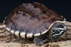 κατανάλωση της malayan χελώνας σαλιγκαριών στοκ φωτογραφία