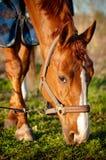 κατανάλωση του αλόγου χλόης πεδίων Στοκ φωτογραφία με δικαίωμα ελεύθερης χρήσης