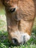 κατανάλωση του αλόγου χλόης Στοκ εικόνες με δικαίωμα ελεύθερης χρήσης