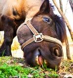 κατανάλωση του αλόγου χλόης Στοκ Εικόνα