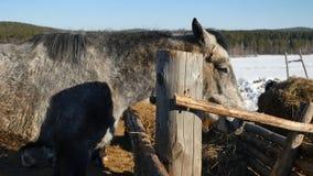 κατανάλωση του αλόγου χ Καλά-καλλωπισμένος όμορφος ισχυρός σανός μασήματος αλόγων Στοκ φωτογραφία με δικαίωμα ελεύθερης χρήσης