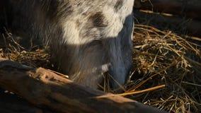κατανάλωση του αλόγου χ Καλά-καλλωπισμένος όμορφος ισχυρός σανός μασήματος αλόγων, κινηματογράφηση σε πρώτο πλάνο Στοκ Εικόνες