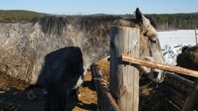 κατανάλωση του αλόγου χ Καλά-καλλωπισμένος όμορφος ισχυρός σανός μασήματος αλόγων Στοκ Φωτογραφία