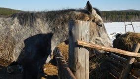 κατανάλωση του αλόγου χ Καλά-καλλωπισμένος όμορφος ισχυρός σανός μασήματος αλόγων Στοκ Εικόνα