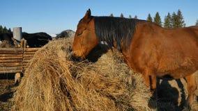 κατανάλωση του αλόγου χ Καλά-καλλωπισμένος όμορφος ισχυρός σανός μασήματος αλόγων Στοκ Εικόνες