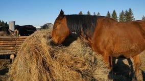 κατανάλωση του αλόγου χ Καλά-καλλωπισμένος όμορφος ισχυρός σανός μασήματος αλόγων Στοκ εικόνα με δικαίωμα ελεύθερης χρήσης
