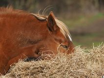 κατανάλωση του αλόγου &sigm Στοκ Εικόνες