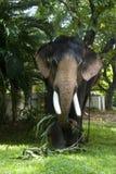 κατανάλωση του ελέφαντα Στοκ φωτογραφία με δικαίωμα ελεύθερης χρήσης