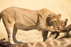 κατανάλωση του λιονταρ&io Στοκ φωτογραφία με δικαίωμα ελεύθερης χρήσης