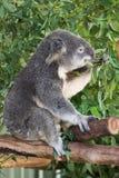 κατανάλωση του koala Στοκ φωτογραφίες με δικαίωμα ελεύθερης χρήσης