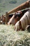 κατανάλωση των αλόγων σαν& στοκ εικόνα με δικαίωμα ελεύθερης χρήσης