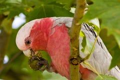 κατανάλωση των σπόρων παπαγάλων στοκ εικόνα