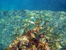 κατανάλωση των ψαριών Στοκ Φωτογραφίες