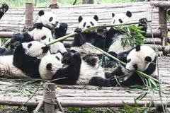 Κατανάλωση των pandas Στοκ φωτογραφία με δικαίωμα ελεύθερης χρήσης