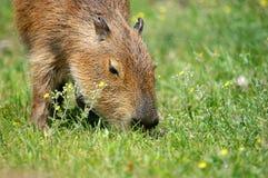 κατανάλωση capibara Στοκ Φωτογραφία