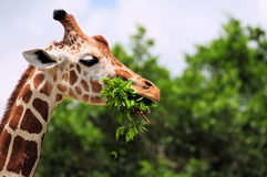 κατανάλωση giraffe των φύλλων Στοκ Εικόνα