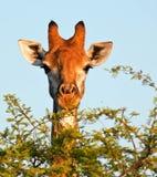 κατανάλωση giraffe Στοκ Φωτογραφία