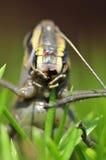 κατανάλωση grasshopper χλόης Στοκ εικόνες με δικαίωμα ελεύθερης χρήσης