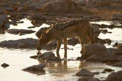 κατανάλωση jackal στοκ εικόνες