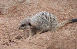 κατανάλωση meerkat στοκ εικόνα με δικαίωμα ελεύθερης χρήσης