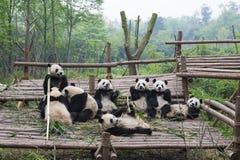 Κατανάλωση Pandas Στοκ Φωτογραφίες