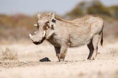κατανάλωση warthogs στοκ φωτογραφία με δικαίωμα ελεύθερης χρήσης