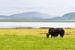 κατανάλωση yak χλόης στοκ φωτογραφία με δικαίωμα ελεύθερης χρήσης