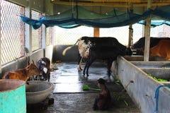 Κατανάλωση αγελάδων γάλακτος Στοκ Φωτογραφίες