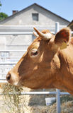 κατανάλωση αγελάδων Στοκ φωτογραφίες με δικαίωμα ελεύθερης χρήσης