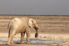 Κατανάλωση ελεφάντων Στοκ Εικόνες