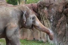 Κατανάλωση ελεφάντων Στοκ Φωτογραφία